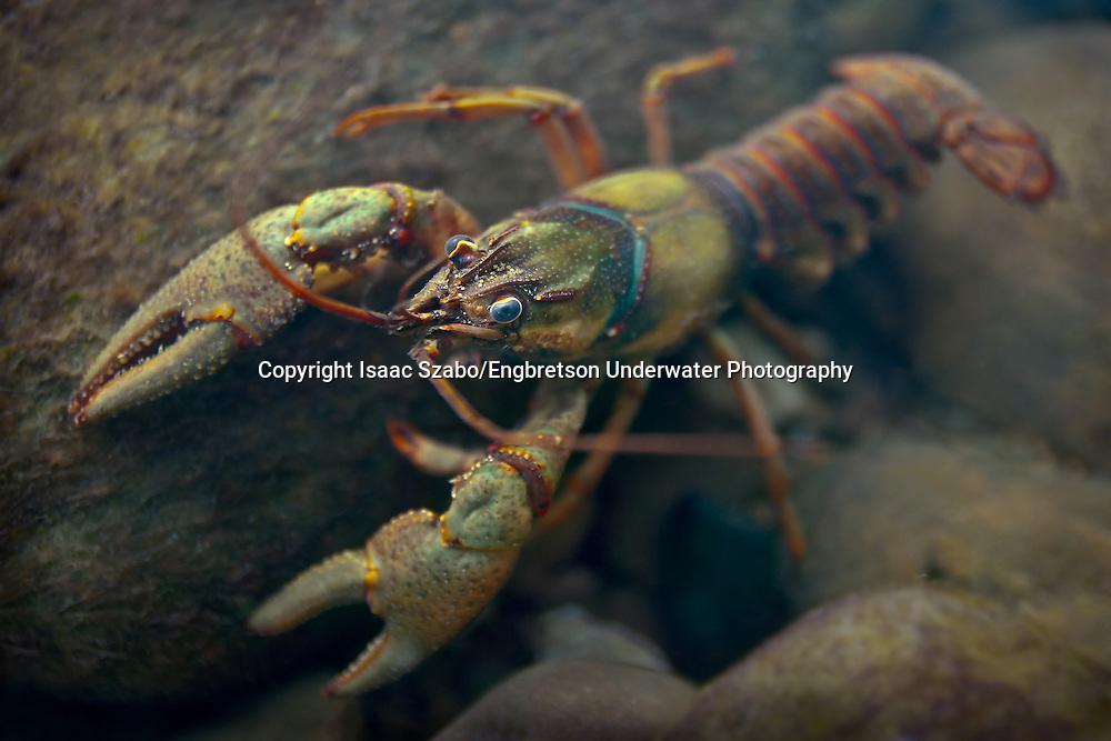 Ozark Crayfish<br /> <br /> Isaac Szabo/ENGBRETSON UNDERWATER PHOTO