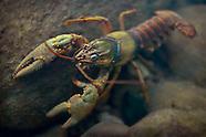 Ozark Crayfish, Underwater