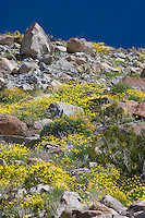 Mexican Gold Poppies (Eschscholtzia mexicana) growing among boulders on a slope in the Anza Borrego Desert, California
