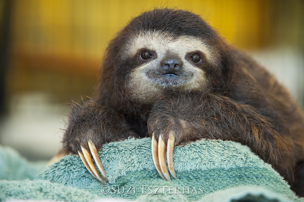 Brown-throated Three-toed Sloth <br /> Bradypus variegatus<br /> One year old orphaned baby<br /> Aviarios Sloth Sanctuary, Costa Rica<br /> *Captive - Rescued and in rehabilitation program