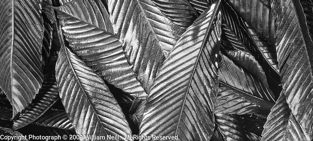 Fallen Mango leaves, Akaka Falls State Park, Island of Hawaii, Hawaii