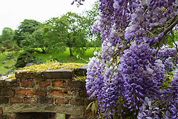 Wisteria blooms at Eltham Palace Gardens in Eltham, South East London.May 13 2018.