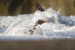 Fiordland crested penguin (Eudyptes pachyrhynchus) Westland, New Zealand, Vulnerable species