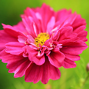 """""""Pink as a Flamingo""""<br /> <br /> Lovely pink flower on a bright green background!!<br /> <br /> Flowers and Wildflowers by Rachel Cohen"""