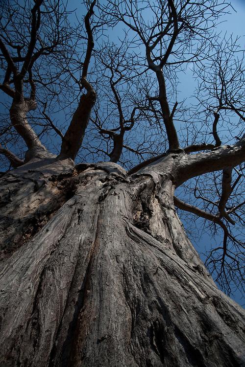Baobab tree, Ruaha National Park, Tanzania