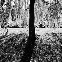 A large weeping willow tree casting shadows on the ground in summer