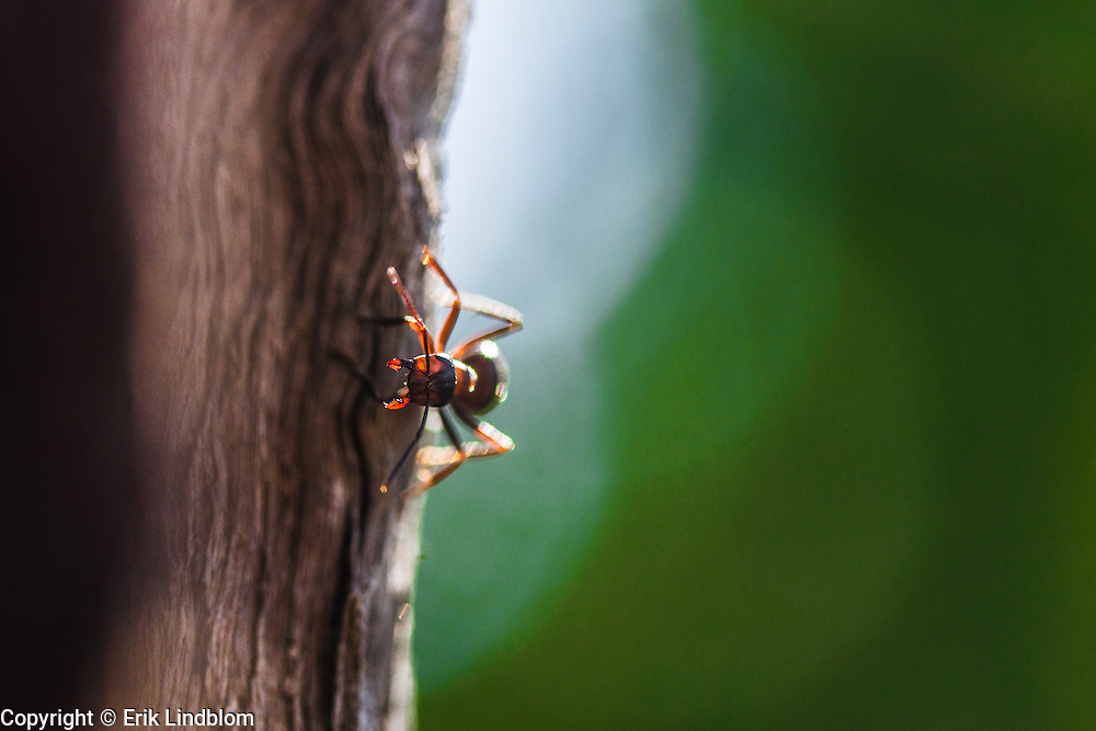 Formica rufa also known as southern wood ant patrolling an oak.