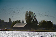Birds fill the sky over farmland in Marysville, CA.  Over 20 kinds of ducks, geese, swan and waterbirds make their fall and winter home here near Marysville, and at other Valley marshes such as Gray Lodge Wildlife Area, Cosumnes River Preserve, and Sacramento, Stone Lakes  and Colusa  National Wildlife Refuges.