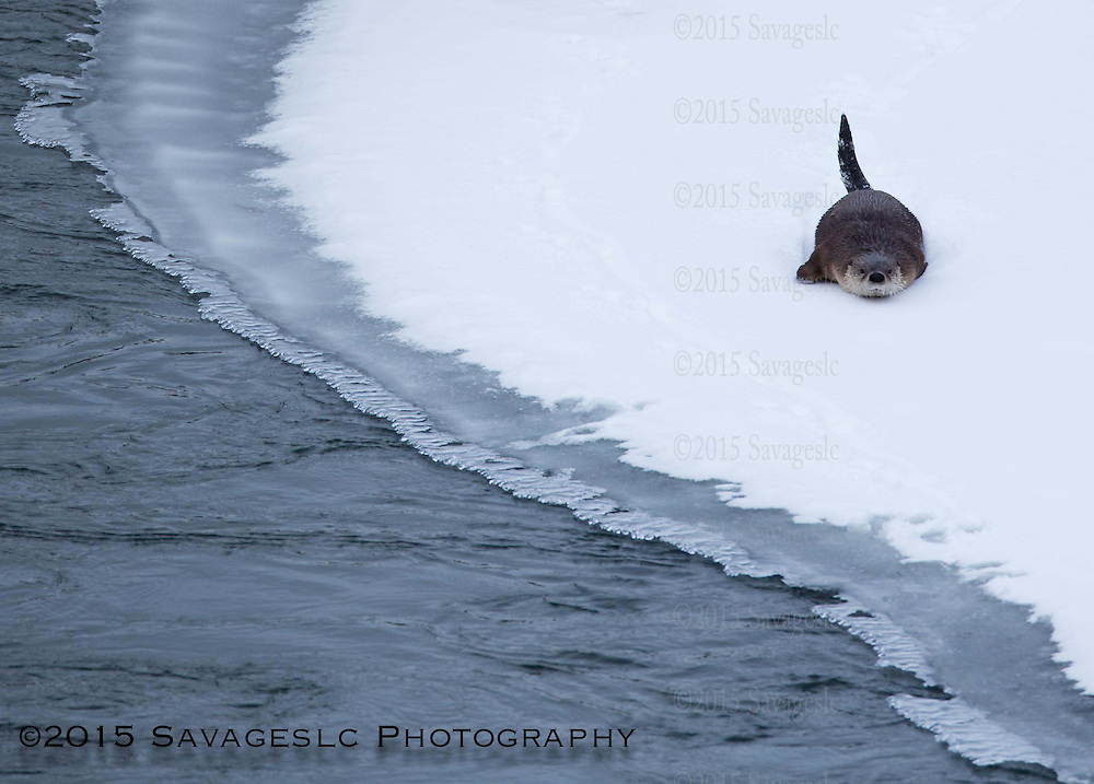 River otter belly slide. January 2015