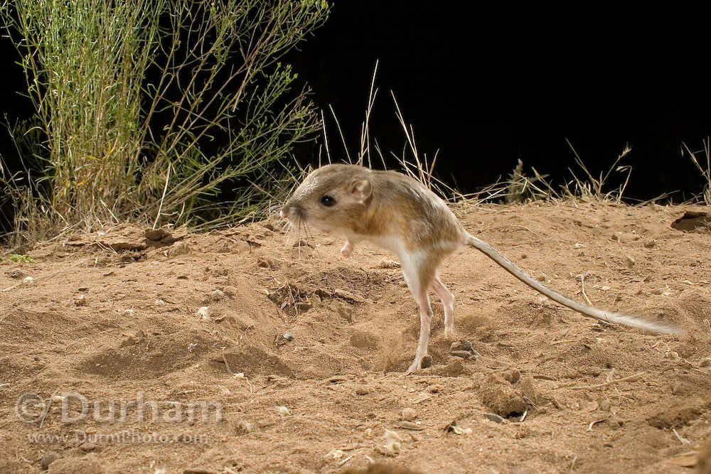 An ord's kangaroo rat (Dipodomys ordii) exhibiting bipedal locomotion. John Day Fossil Beds National Monument, Painted Hills Unit, Oregon.