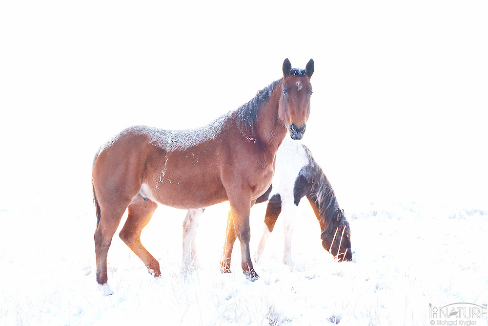 Two domesticated horses side lit by the morning sun while standing in a hoare frost covered pasture.