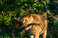 A lioness holds a wildebeest's tail in ber mouth after a kill, near Kwara Camp, Okavango Delta, Botswana.