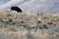Endangered Cape Mountain Zebra and ostrich, Karoo National Park, Western Cape, South Africa