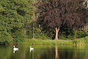 See im Kurpark, Bad König, Schwäne, Odenwald, Naturpark Bergstraße-Odenwald, Hessen, Deutschland | lake in spa gardens, swans, Bad König, Odenwald, Hesse, Germany