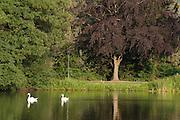 See im Kurpark, Bad König, Schwäne, Odenwald, Naturpark Bergstraße-Odenwald, Hessen, Deutschland | lake in spa gardens, swans, Bad König, Odenwald, Hesse, Germany