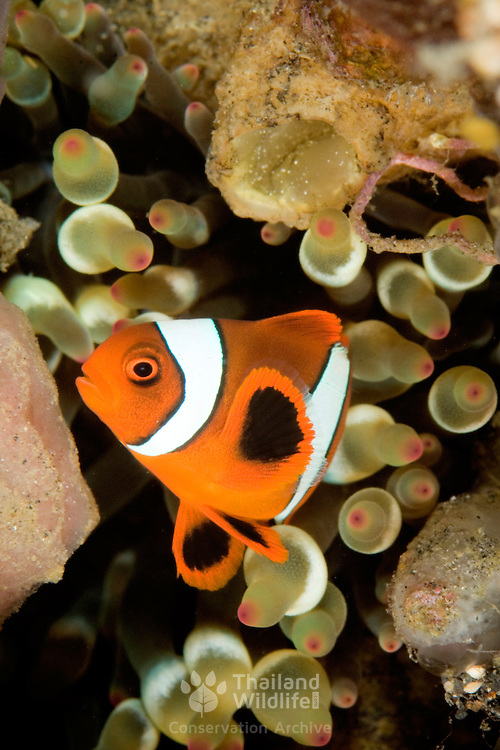 Anemonefish (undescribed) at Lembeh Straits, Indonesia.