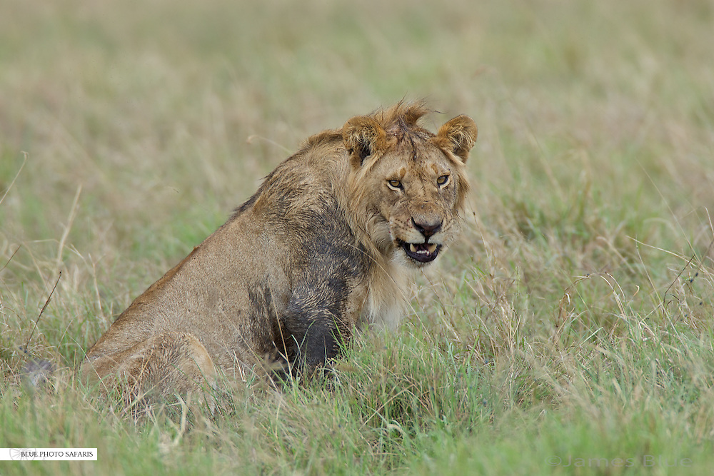 Young male lion defending his kill