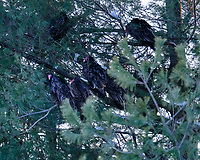 Late Afternoon Turkey Vultures Roosting in a Pine Tree. Image taken with a Fuji X-T3 camera and 200 mm f/2 lens