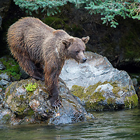 Grizzly bear carefully balanced on a boulder above the waters of the Nakina River in British Columbia Canada waits for a salmon to swim past.