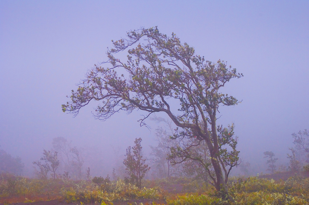 Ohi'a lehua tree in fog; Crater Rim Road, Hawaii Volcanoes National Park, Island of Hawaii.