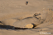 Australian flatback sea turtle, Natator depressus, covering nest after dropping eggs, Crab Island, off Cape York Peninsula, Torres Strait, Queensland, Australia