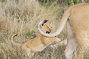 Lion<br /> Panthera leo<br /> 6-7  week old cub chasing its mother's tail<br /> Masai Mara Reserve, Kenya