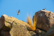 Two rock pigeons (Columbia livia) gather on the top of a rock outcropping in the Mormon Basin of Malheur County, Oregon.