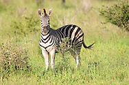 Burchell's Zebra (Equus urchelli)<br /> SOUTH AFRICA: Mpumalanga Province<br /> Kruger National Park; near Satara Camp area<br /> 13-15.Jan.2006<br /> J.C. Abbott #2222