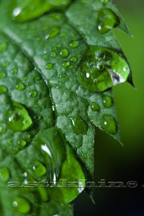 chlorophyll and Dew