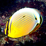 Redfin Butterflyfish inhabit reefs. Picture taken Fiji.