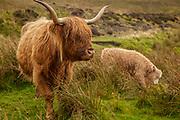 Highland cow and calf, Isle of Skye, The Highlands, Scotland