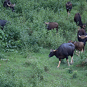 The gaur (Bos gaurus), also called the Indian bison, is the largest extant bovine. This species is native to South and Southeast Asia. It has been listed as Vulnerable on the IUCN Red List since 1986. Population decline in parts of its range is likely to be more than 70% during the last three generations. However, population trends are stable in well-protected areas, and are rebuilding in Kaeng Krachan National Park in Thailand.