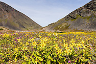 Alpine Arnica (Arnica alpina) and Dwarf Fireweed (Epilobium latifolium) wildflowers spread across the summit of Crow Pass in the Chugach National Forest in Southcentral Alaska. Summer. Afternoon.