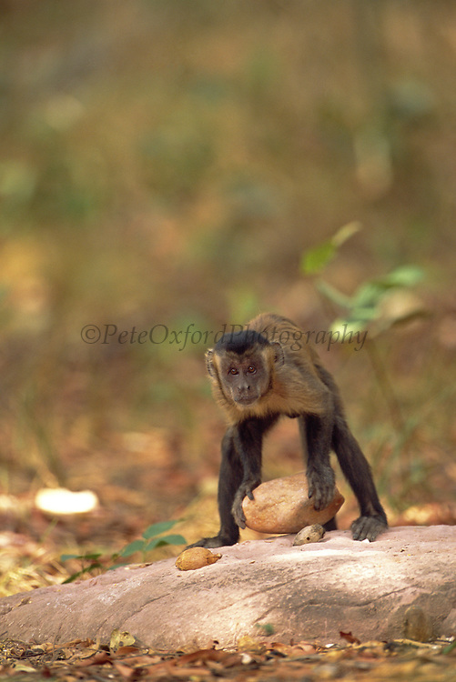 Brown Capuchin Monkey Tool Using<br />
