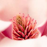 Saucer magnolia (Magnolia soulangiana).
