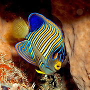 Regal Angelfish inhabit reefs. Picture taken Alor, Indonesia.