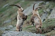 Alpine Ibex (Capra ibex). High Tauern National Park, Austria. | Alpen-Steinbock (Capra ibex). Nationalpark Hohe Tauern, Österreich.