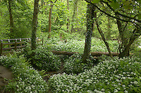 path through Ancient oak wood with Ramsons in spring. Aughton Wood, River Lune, Lancashire