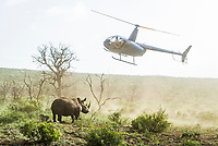 As one of a suite of deterrents against rhino poaching in South Africa, many protected areas have taken to dehorning their rhinos. This is an extremely costly effort with the rhino in most cases having to be darted from a helicopter.