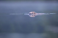 European beaver (Castor Fiber) swimming at dawn, Knapdale Forest, Argyll, Scotland.