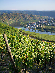 View of Piesport village from vineyards  in Mosel Valley in Germany