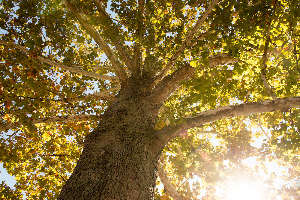Sycamore tree on South Green during the fall. Photo by Ben Siegel