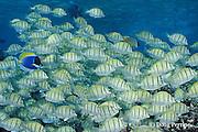 convict tangs or surgeonfish, Acanthurus triostegus, swarm over reef, Helengeli, Maldives ( Indian Ocean )
