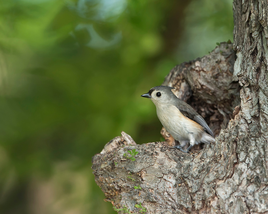 A tufted titmouse (Baeolophus bicolor) at its nest cavity, White Rock Lake, Dallas, Texas