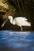A Royal Spoonbill catches another flounder in the estuary, Southland, New Zealand