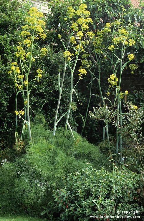 Ferula communis -  Giant fennel - growing at Great Dixter