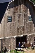 Woman, horse barn
