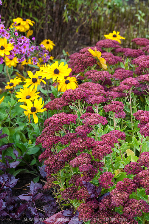 "Sedum 'Autumn Joy"", Black-eyed Susans ( Rudbeckia) Purple asters, and purple-leaf basil in a colorful late summer perennial border."
