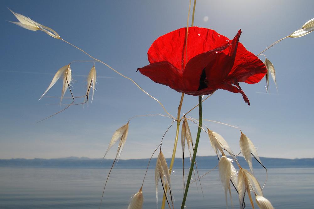Mediterranean Poppy, Papaver apulum, and Oat grass, Avena sp.<br /> Lagadin village region, east shore Lake Ohrid (693m), Macedonia<br /> Galicica National Park, Macedonia, June 2009<br /> Mission: Macedonia, Lake Macro Prespa /  Lake Ohrid, Transnational Park<br /> David Maitland / Wild Wonders of Europe