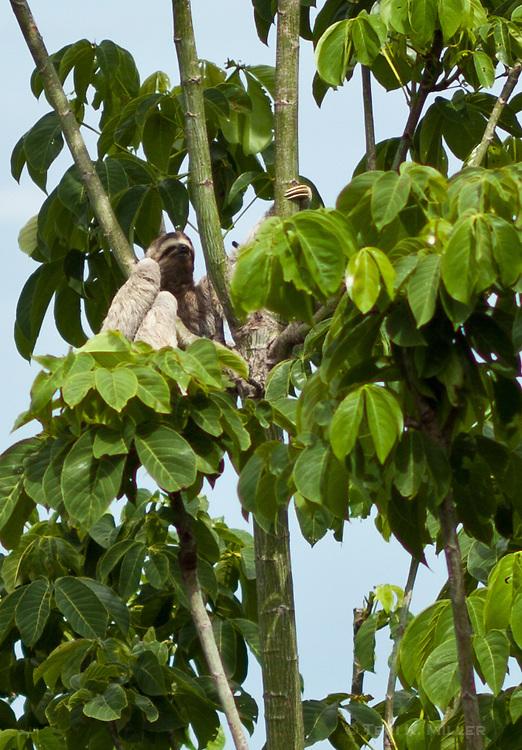 A sloth in a tree at Lapa Rios Ecolodge, Osa Peninsula, Costa Rica